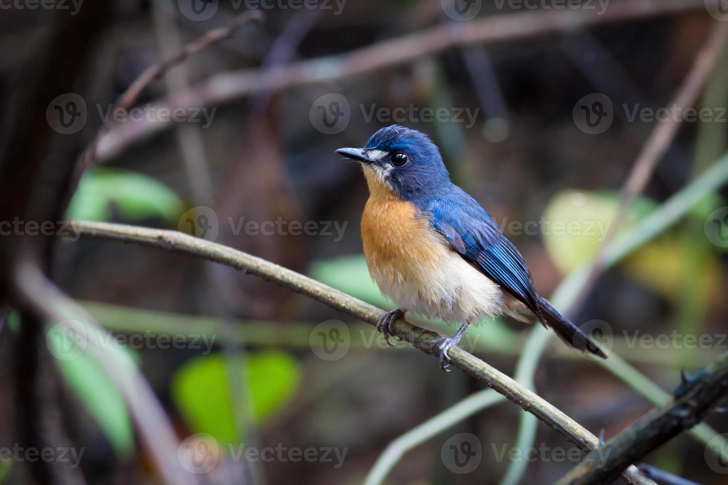 Mangrovenblauer Fliegenfänger (weiblich) foto