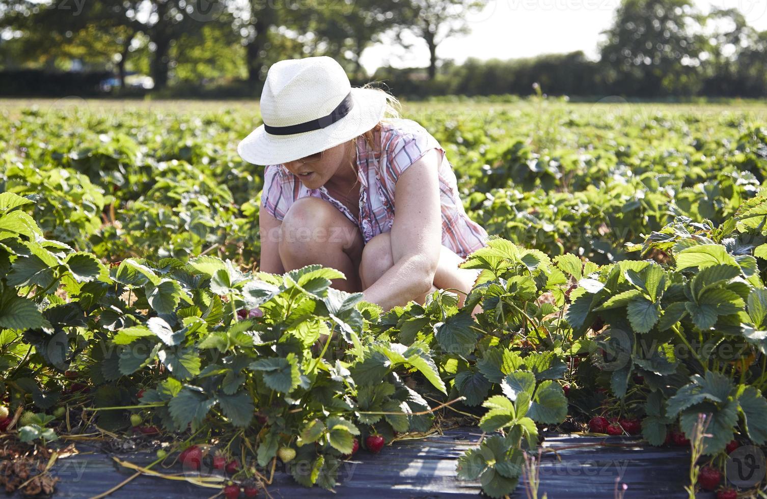Frau, die Erdbeeren in einem Feld pflückt foto