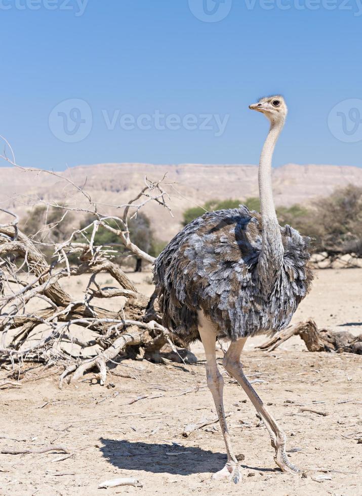 Weibchen des afrikanischen Straußes (struthio camelus) foto
