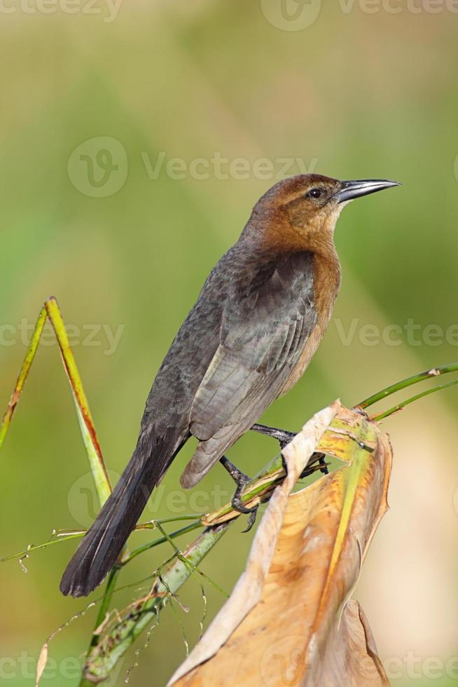 weibliches Boot-tailed Grackle (Quiscalus major) foto