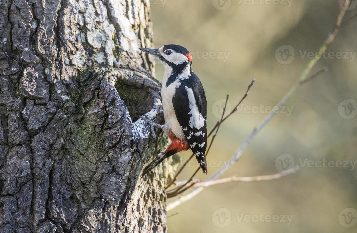 Buntspecht, der an der Seite eines Baumes thront foto
