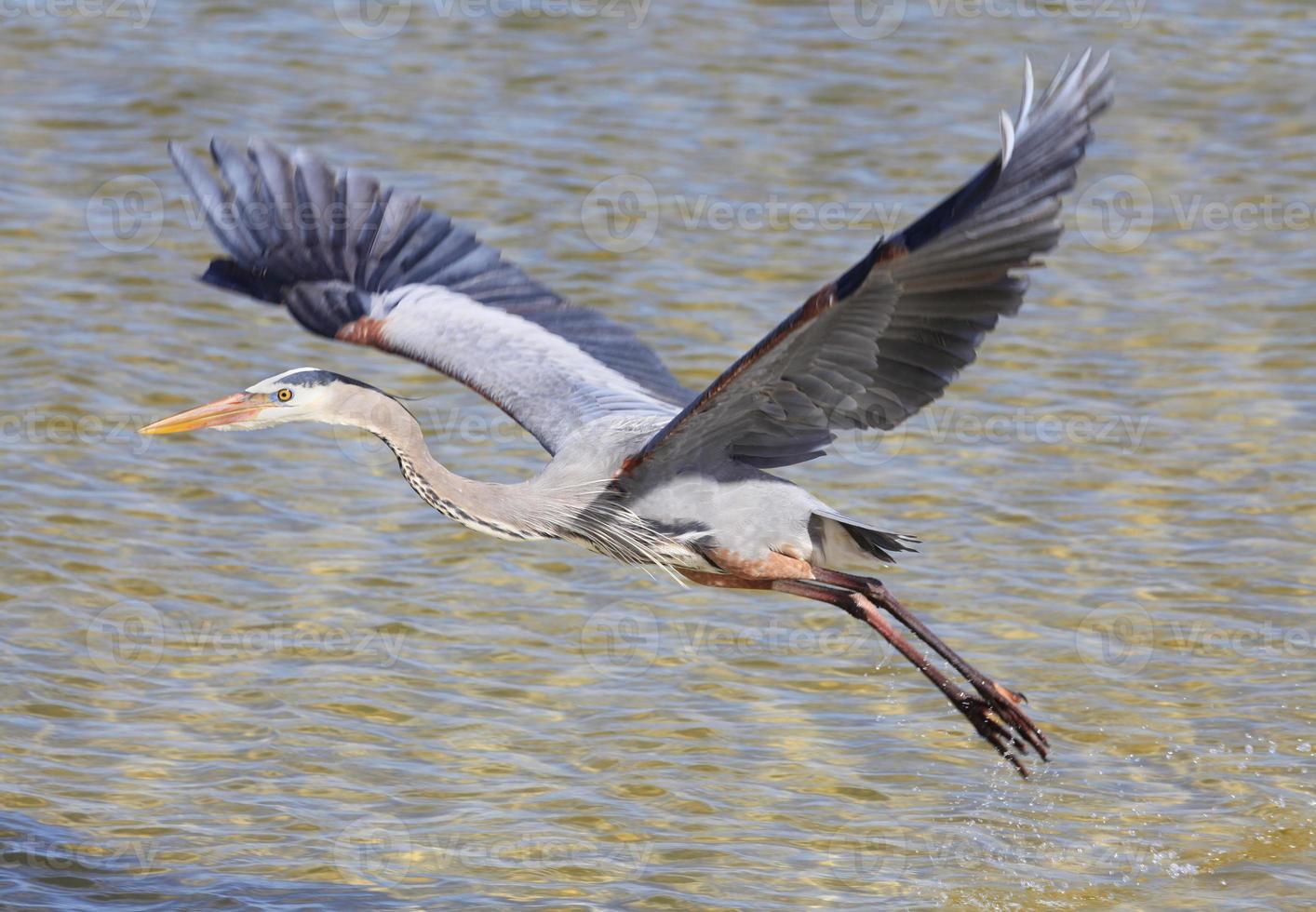 Graureiher fliegt über Wasser foto