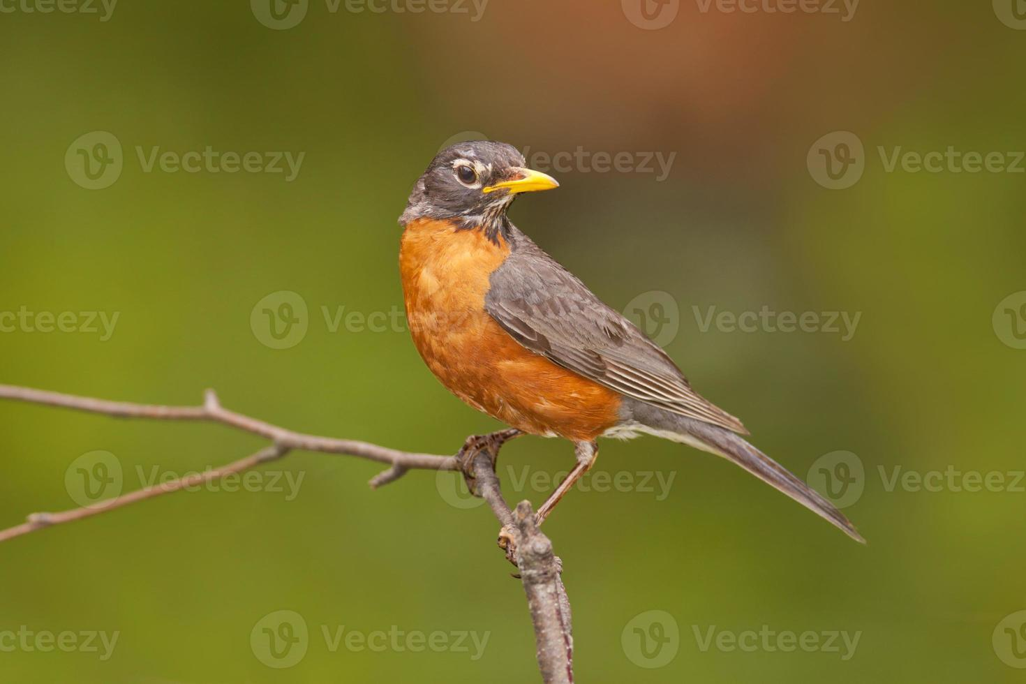 American Robin foto