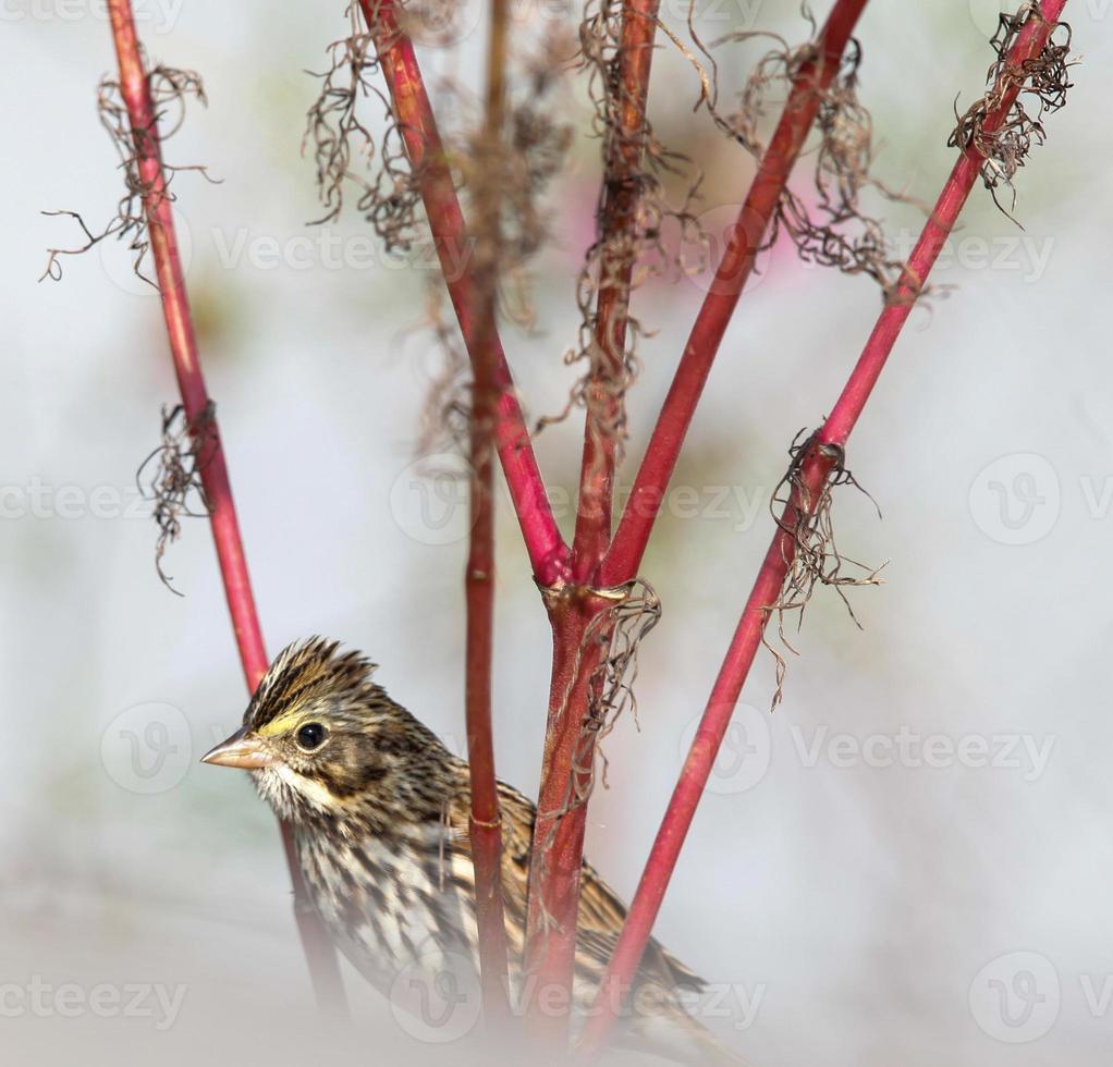 Herbst Savannah Sparrow Nahaufnahme Cape May New Jersey foto