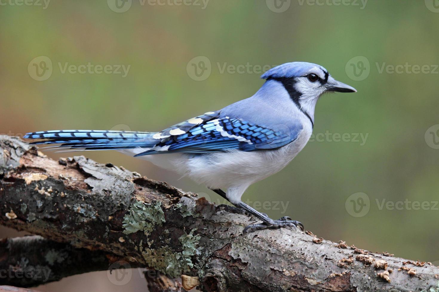 Blue Jay im Herbst foto