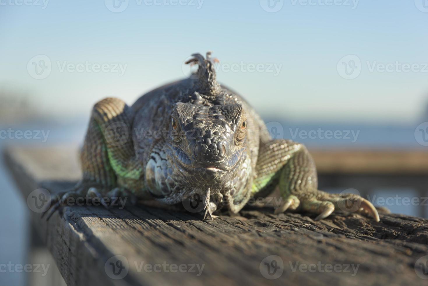 Leguan foto