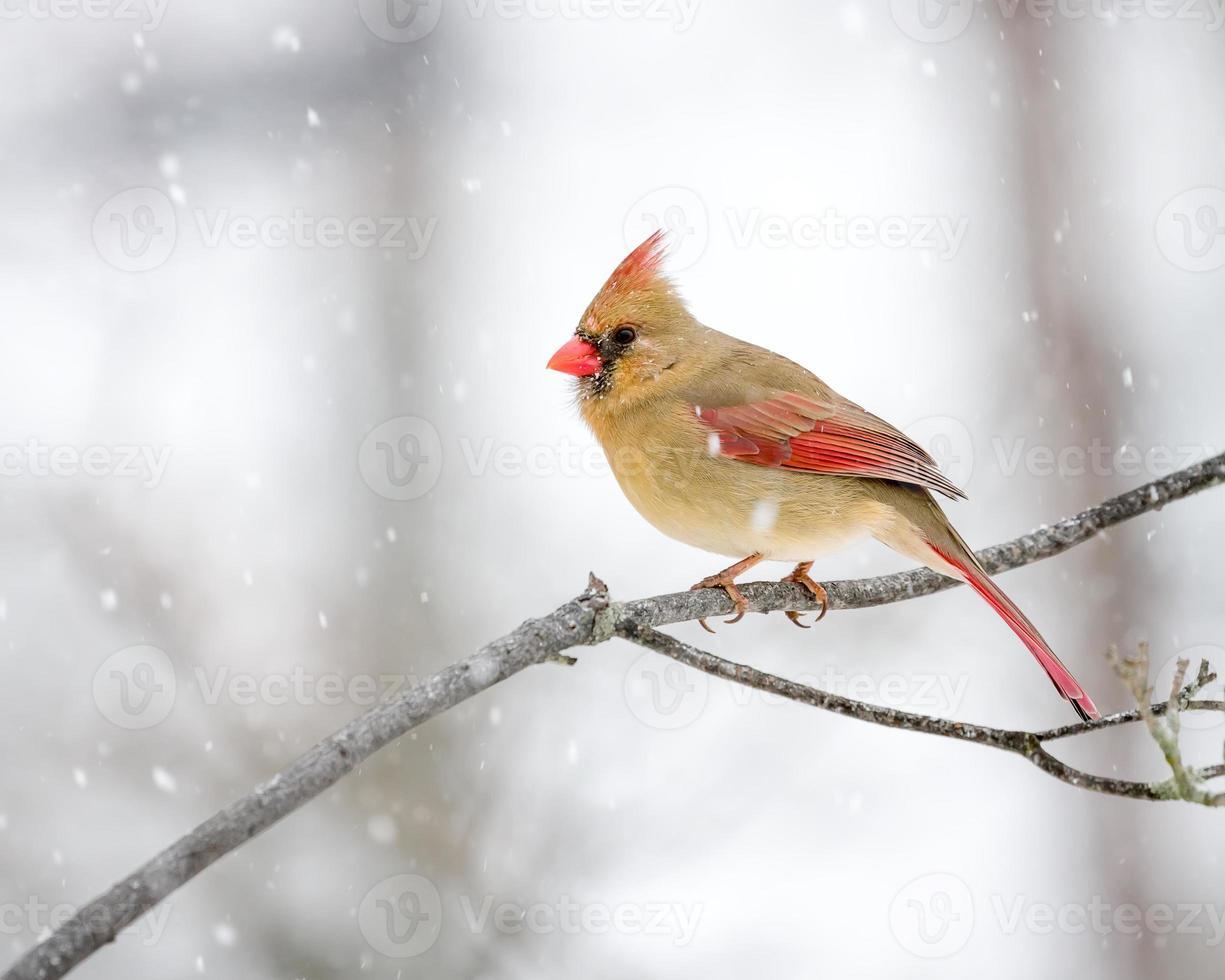 weiblicher Kardinal im Schnee foto