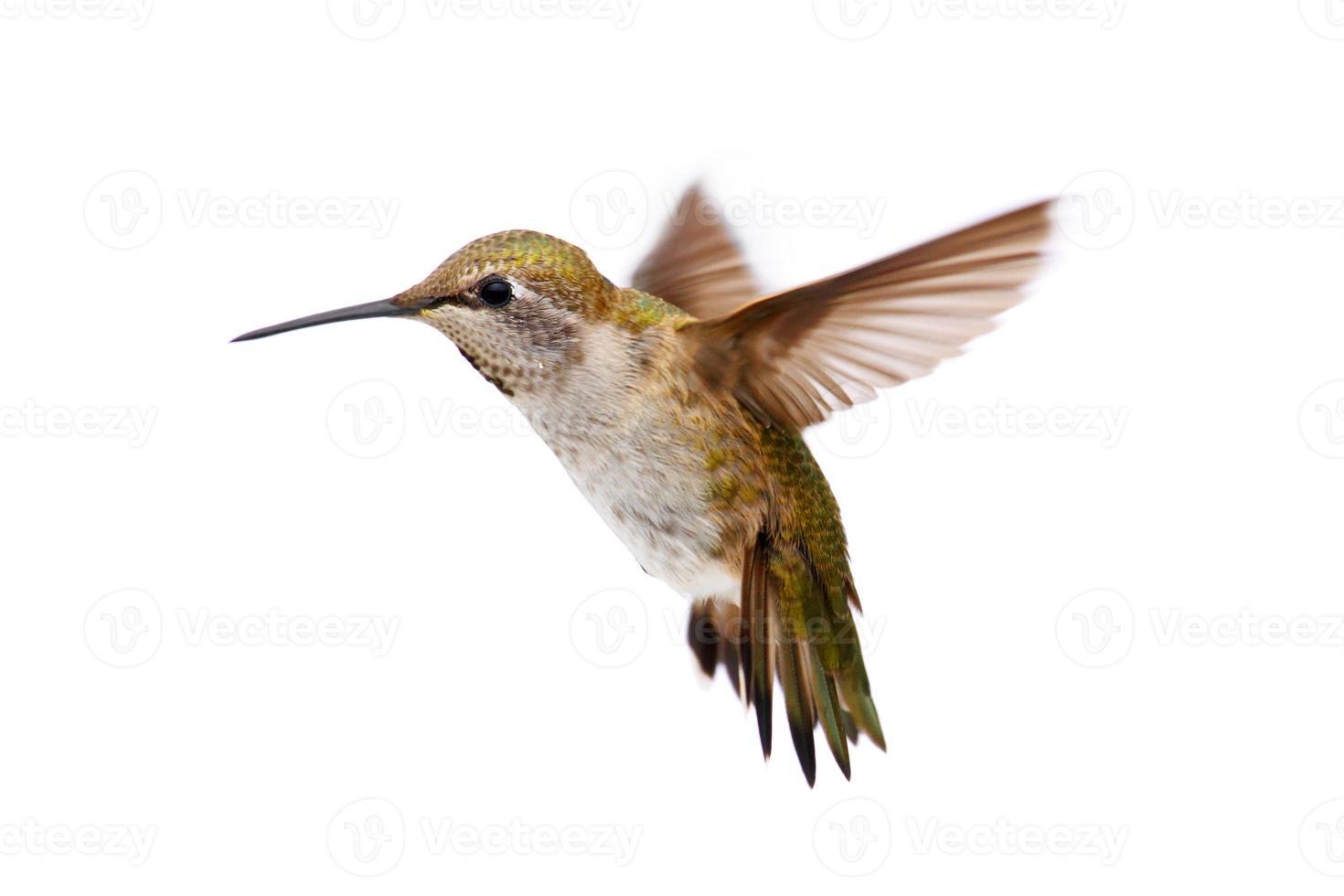 Allens Kolibri (Selasphorus Sasin) foto