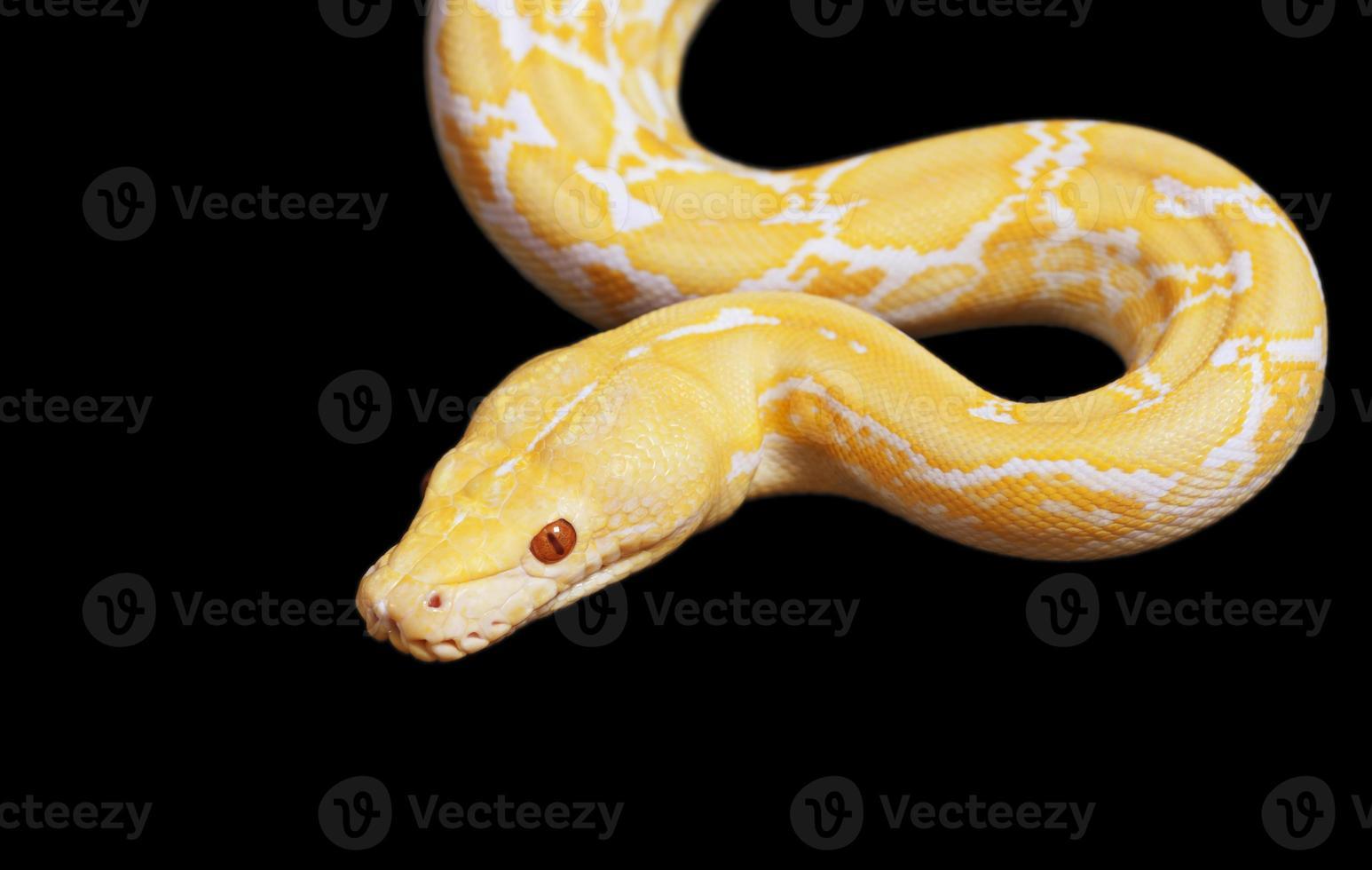 Tiger Albino Python Schlange über schwarz foto
