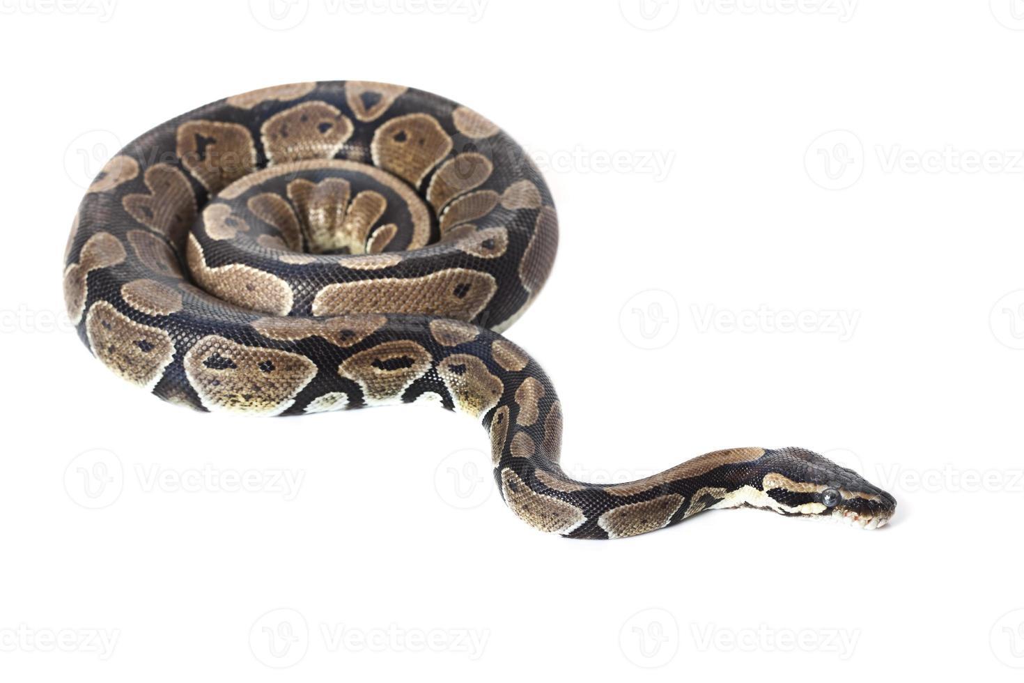 königliche Python foto