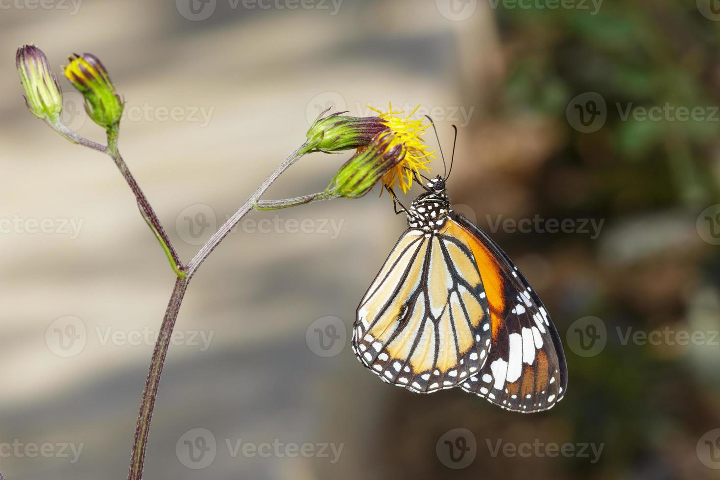gemeiner Tigerschmetterling auf Blume foto