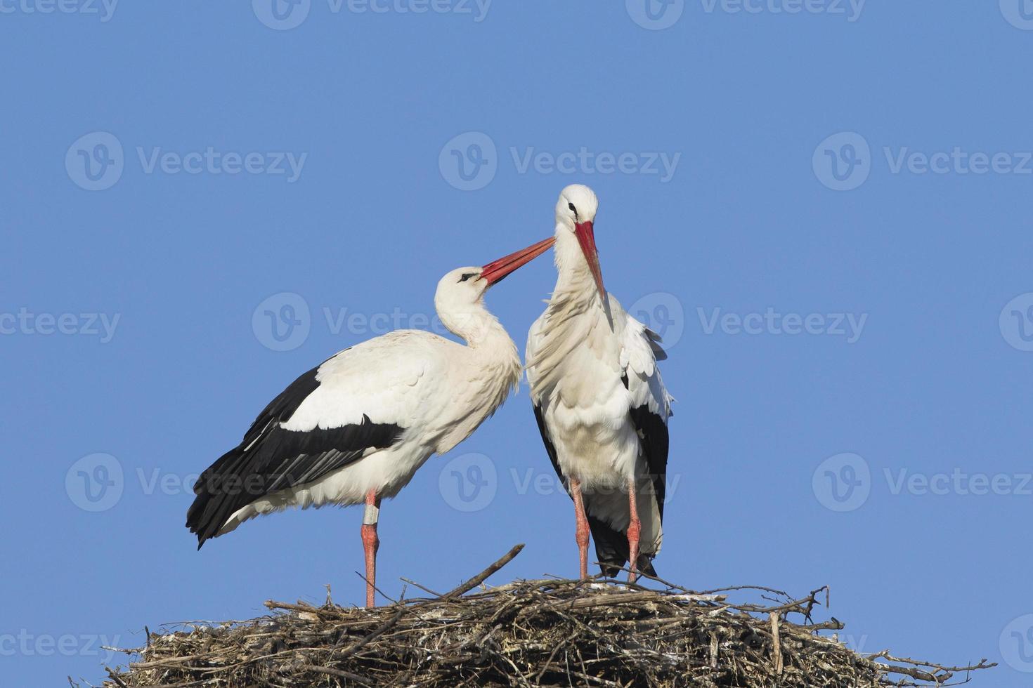 Weißstorchpaar foto