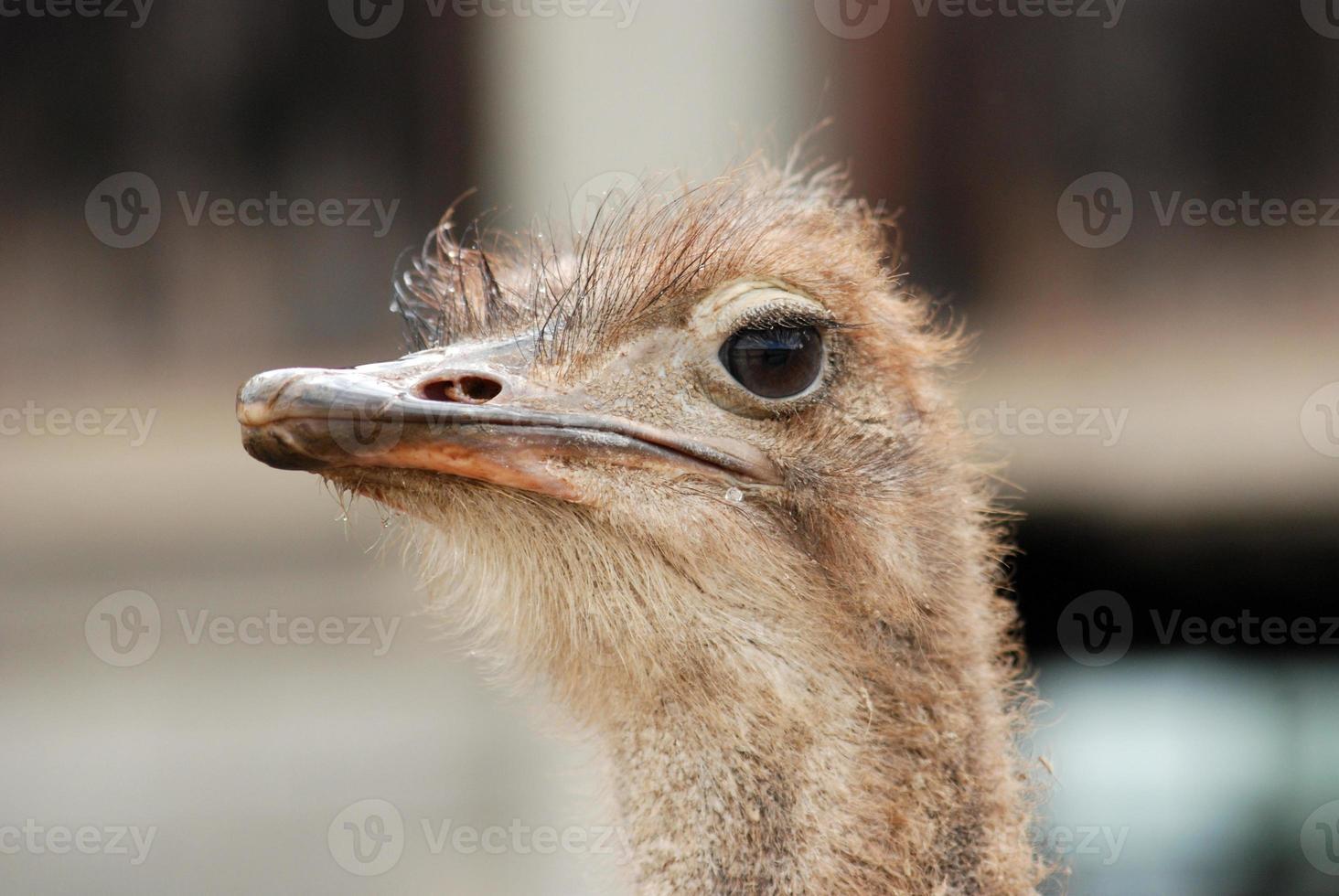 Straußenvogel foto