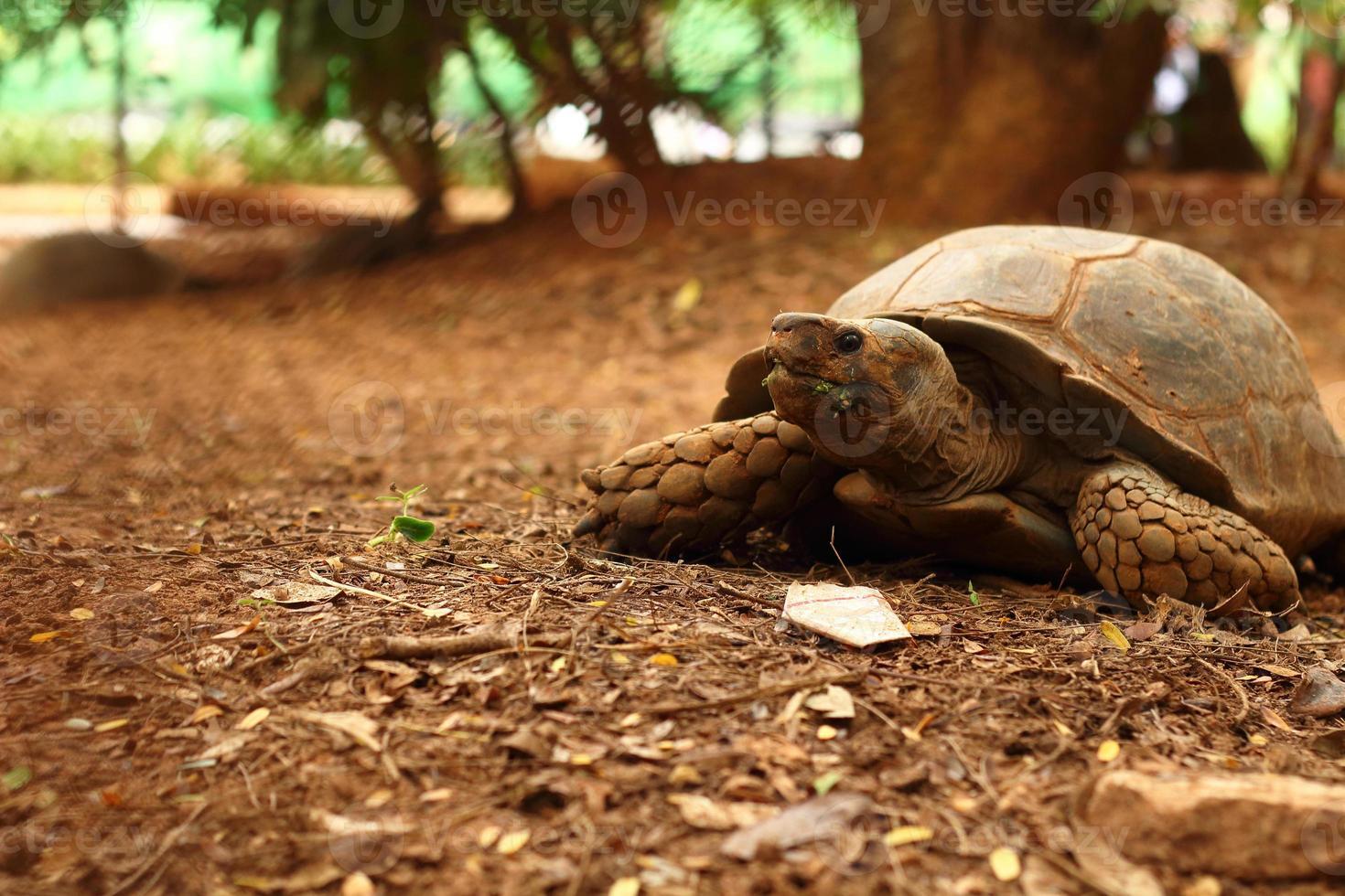 kriechende Schildkröte in der Natur foto