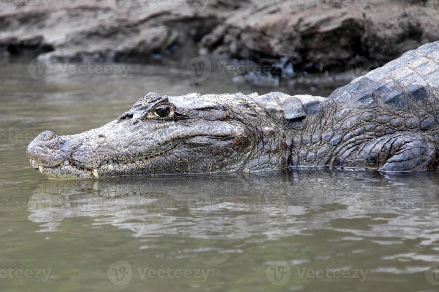Cayman in Costa Rica. Kopf einer Krokodil-Nahaufnahme. кайман foto