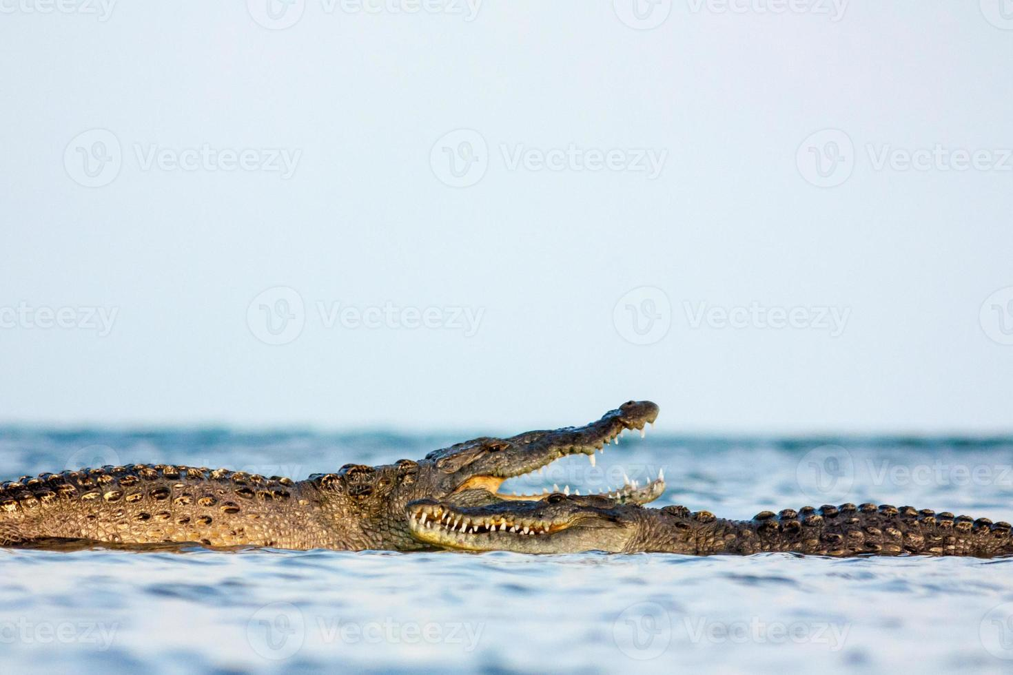 amerikanisches Krokodil foto
