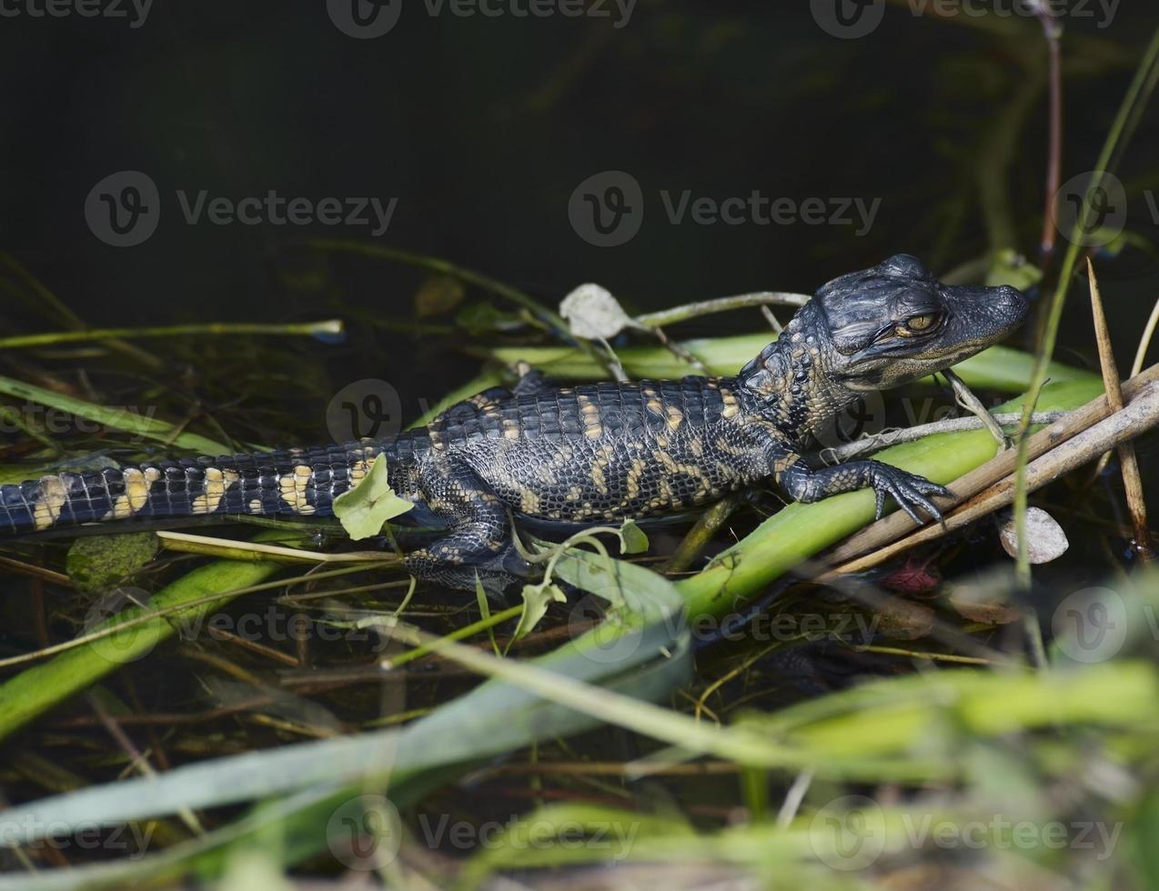 junger Alligator foto