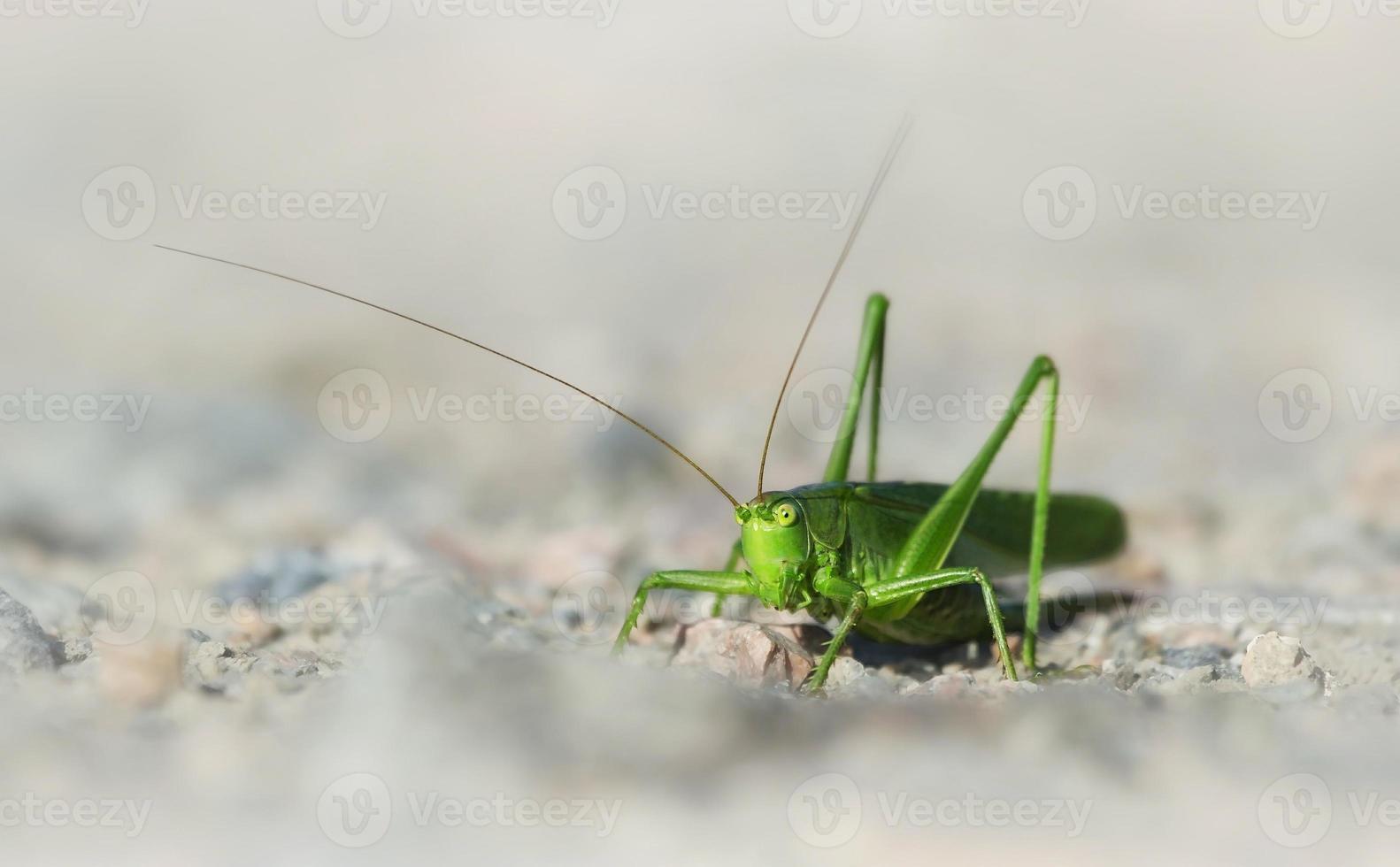 grüne Buschgrille foto