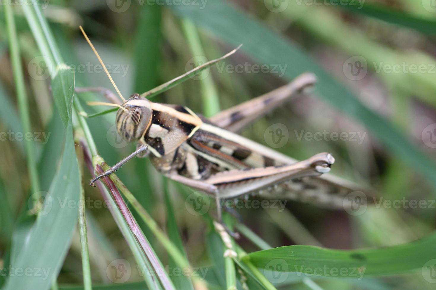 Makro der braunen Heuschrecke thront auf Blatt. foto