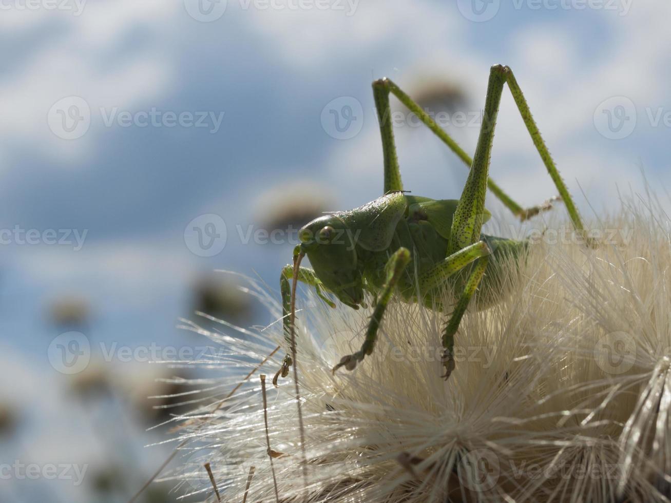 grüne Heuschrecke foto