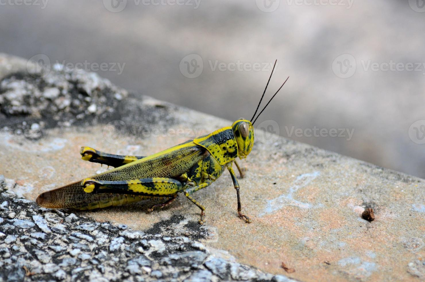 schwarzes, gelbes und grünes Tarnheuschreckeninsekt foto
