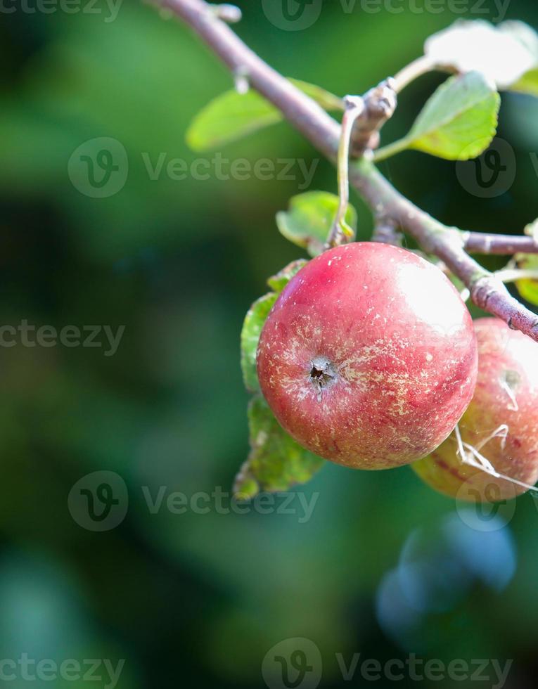 roter Apfel, der an einem schönen Tag von einem Baum hängt foto