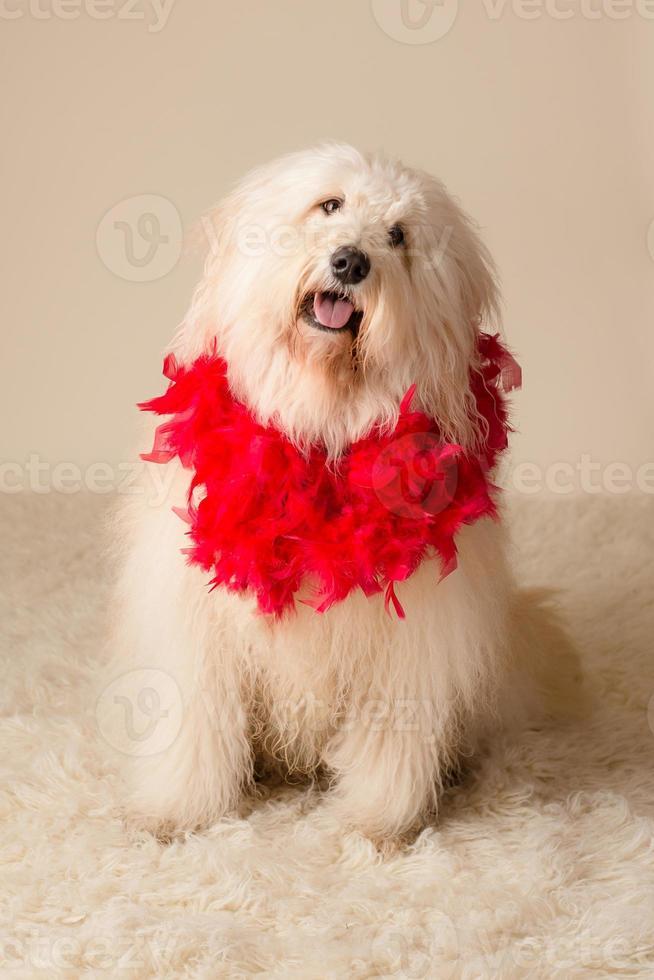 Hund trägt Boa foto