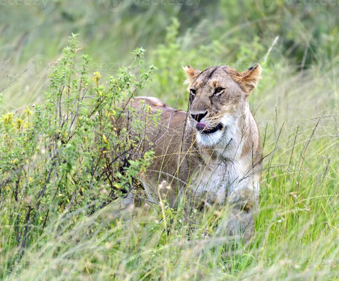 Löwen Masai Mara foto