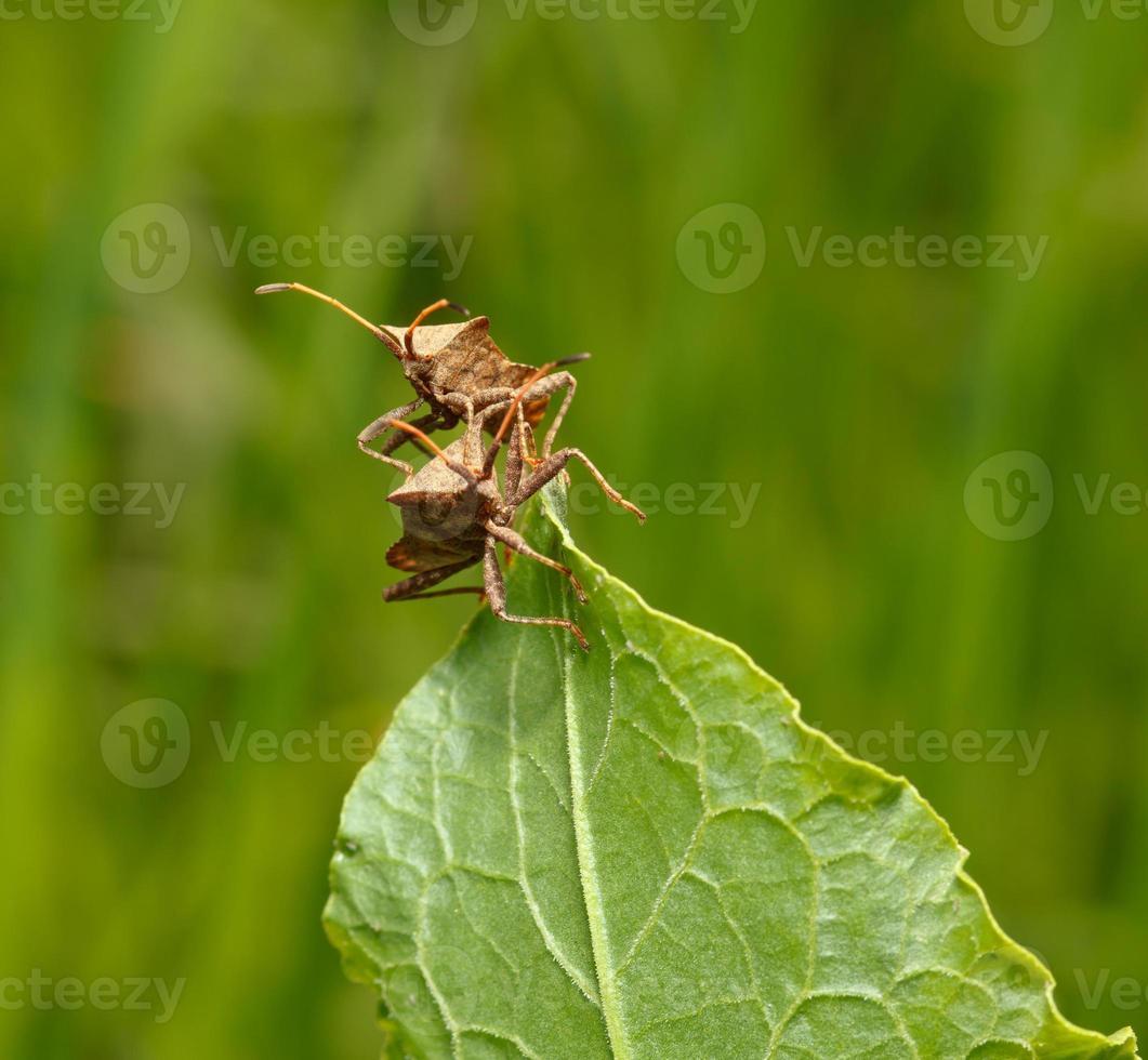 zwei Squash Bugs foto