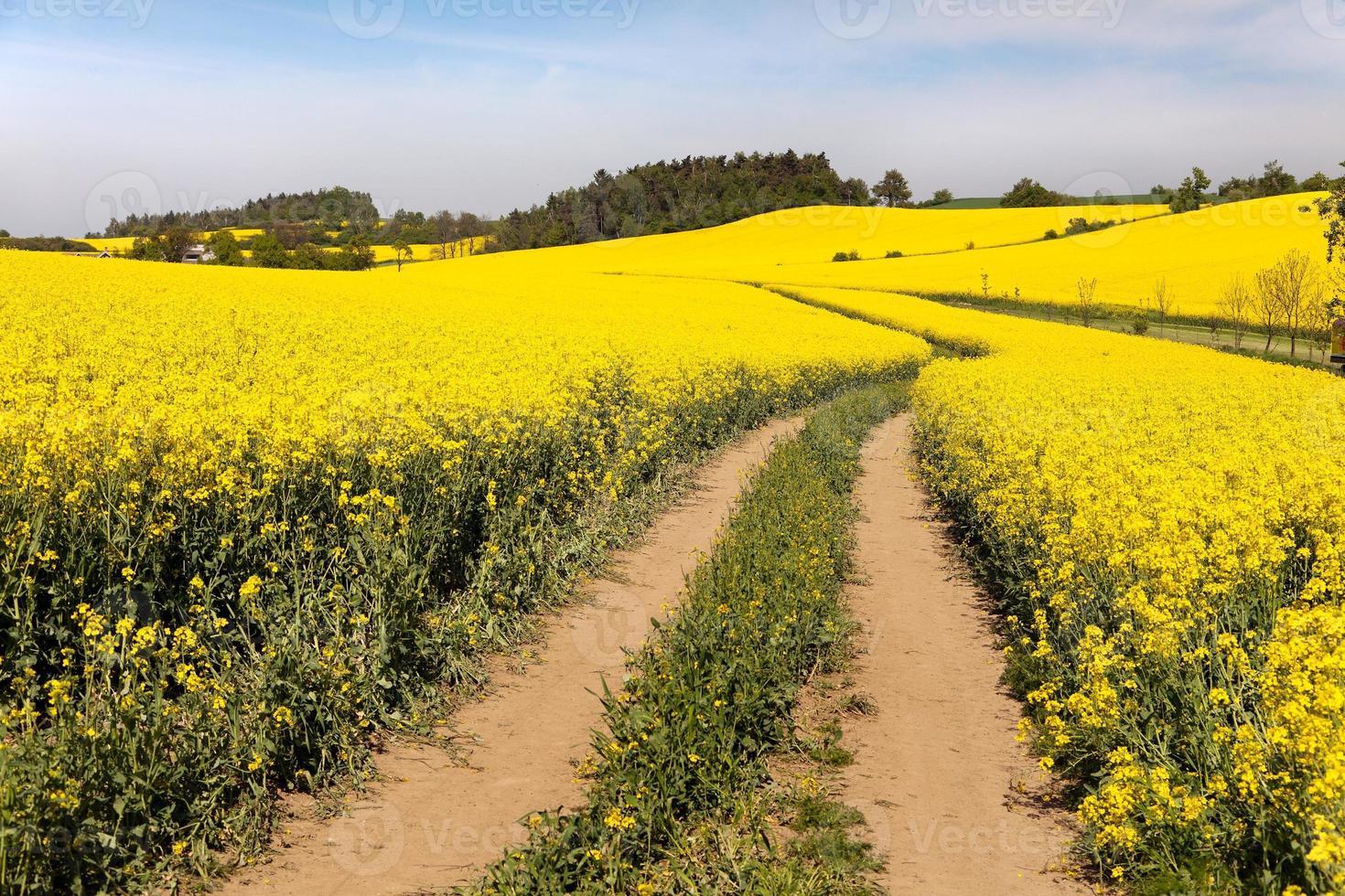 Rapsfeld (Brassica napus) foto