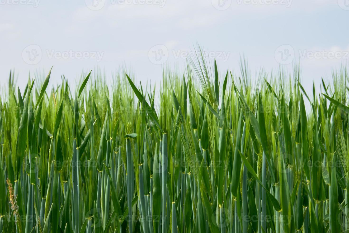 junger Weizen am Himmel foto