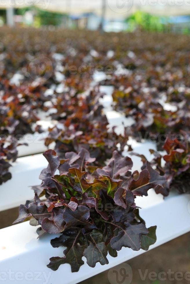Roteiche, Grüne Eiche, Anbau Hydrokultur Grünes Gemüse in f foto