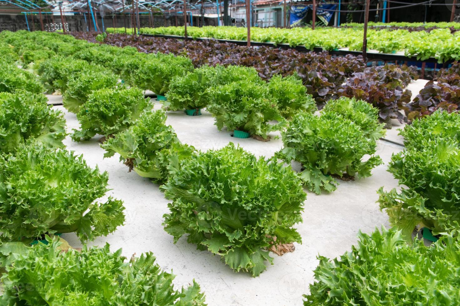 Hydroponisches Gemüse, das im Gewächshaus wächst foto