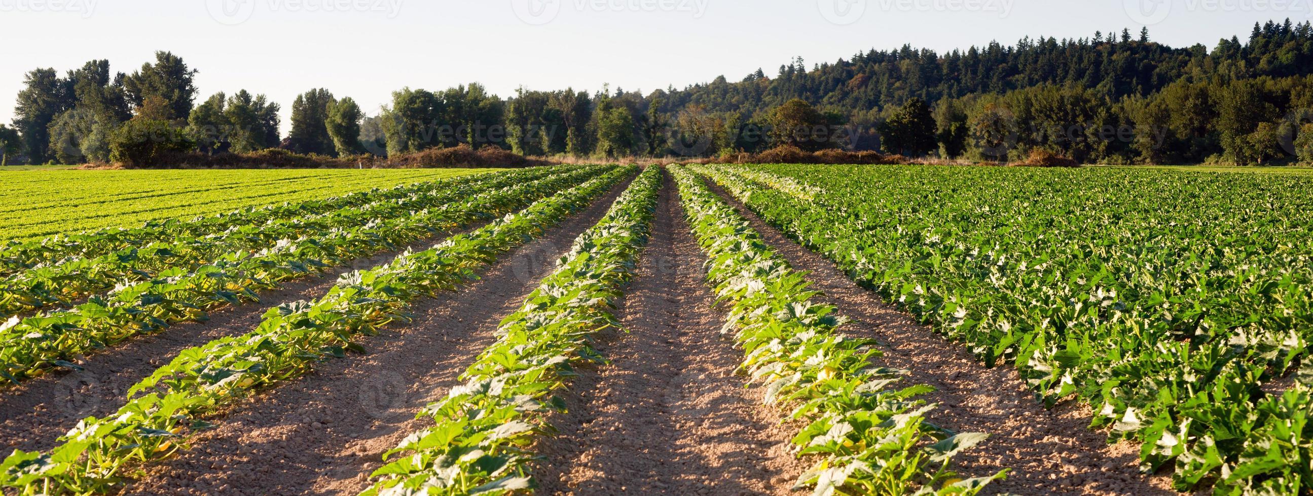gepflanzte Reihen Kräuterfarm landwirtschaftliche Feldpflanzenernte foto