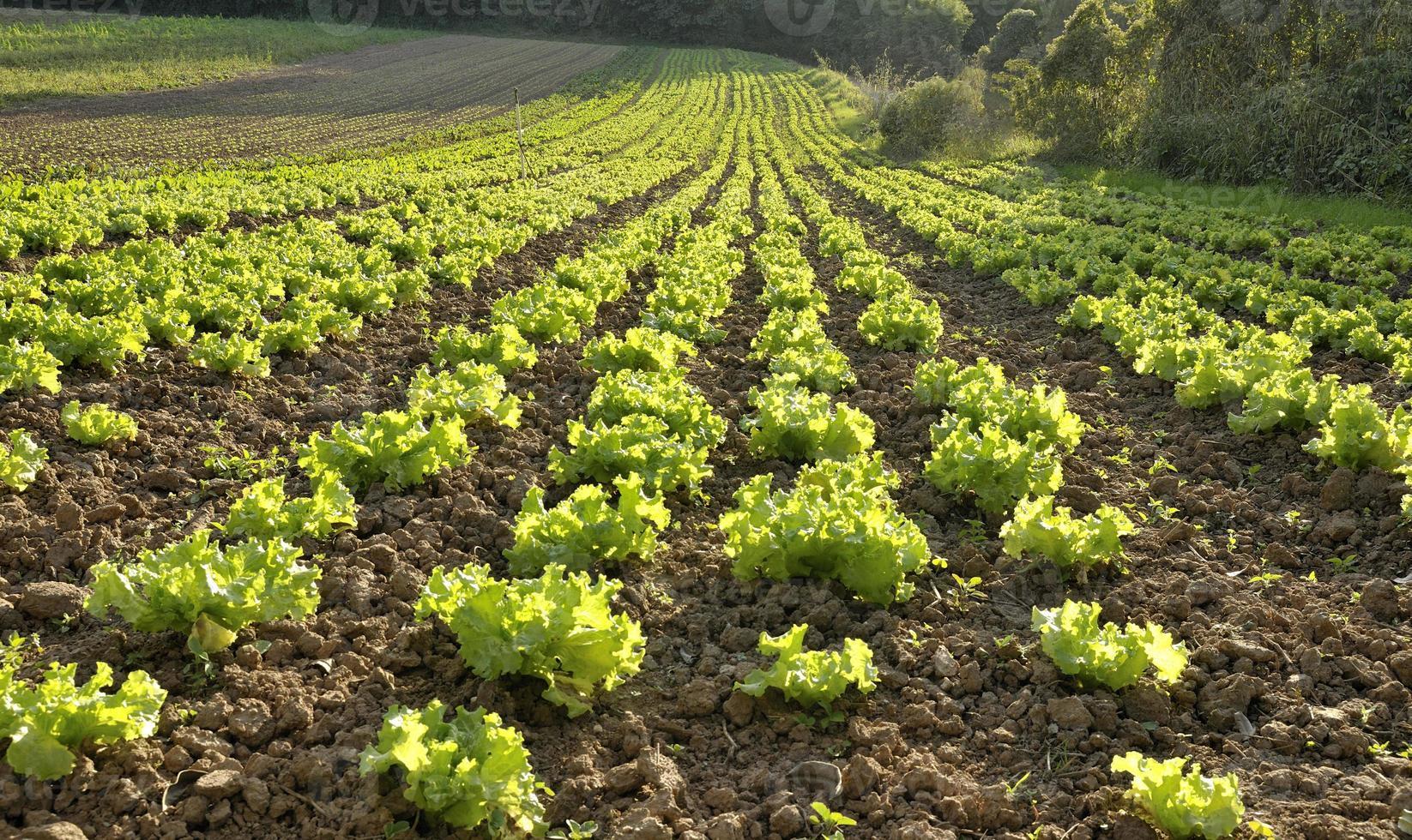 Salat pflanzen foto