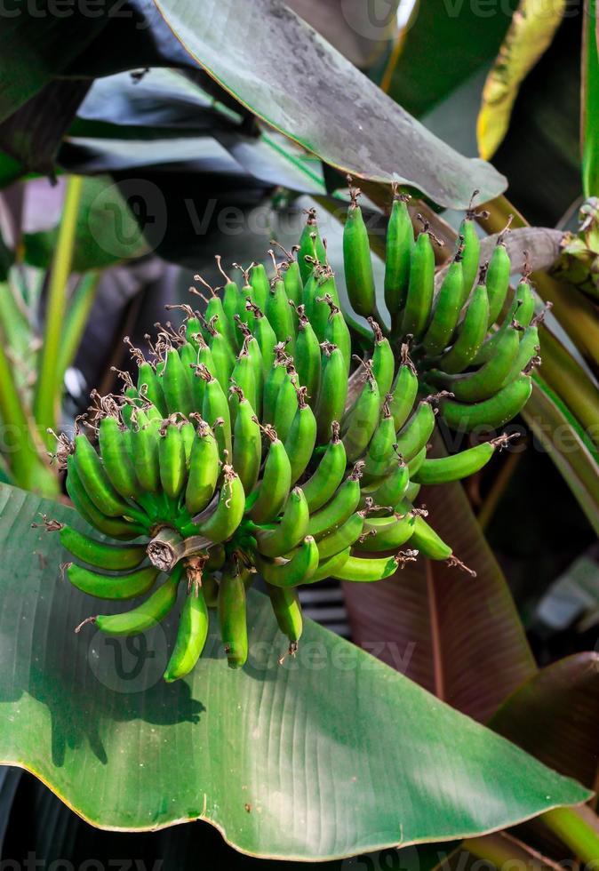 Bananenbaum foto