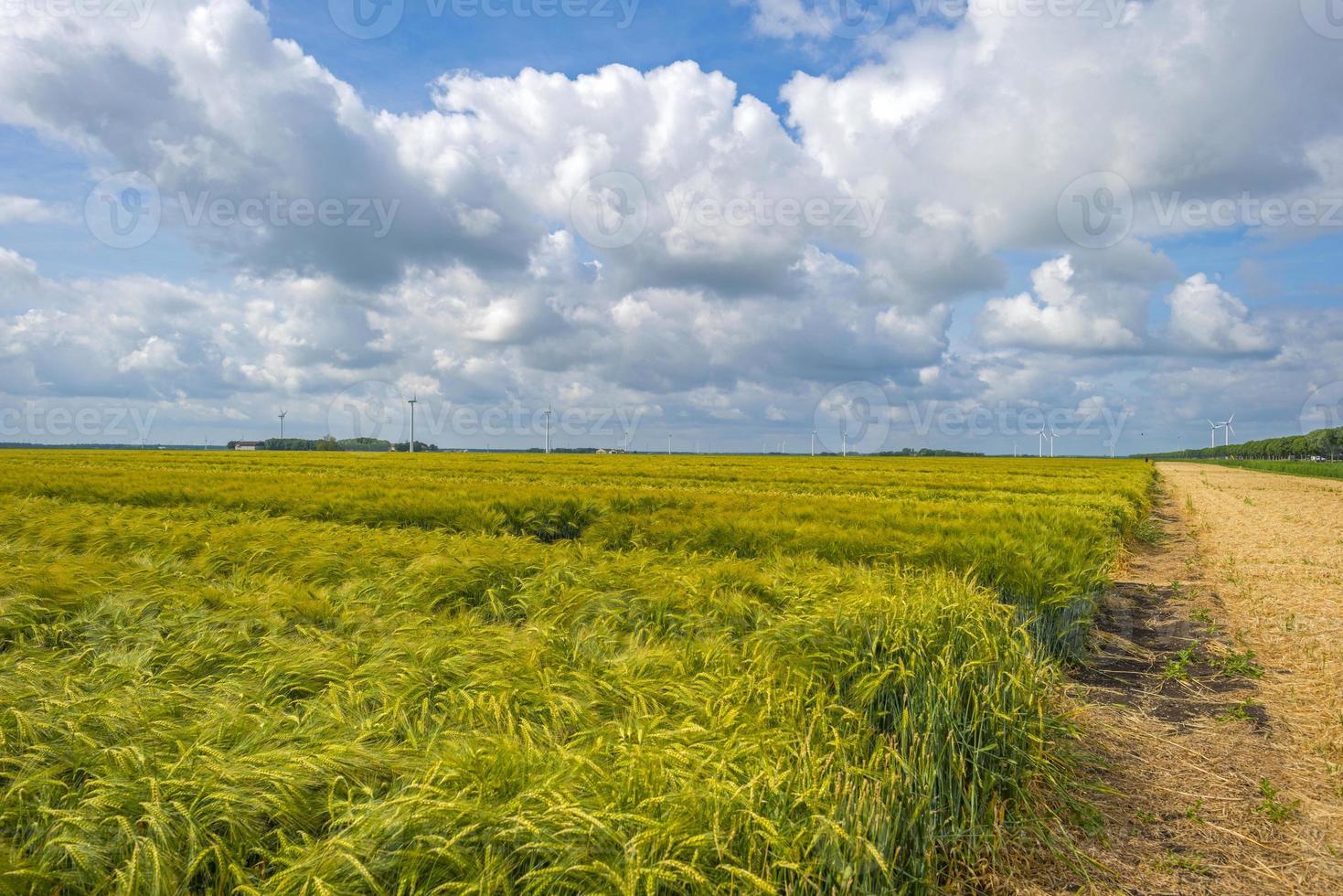 Weizen wächst unter einem bewölkten Himmel im Frühjahr foto