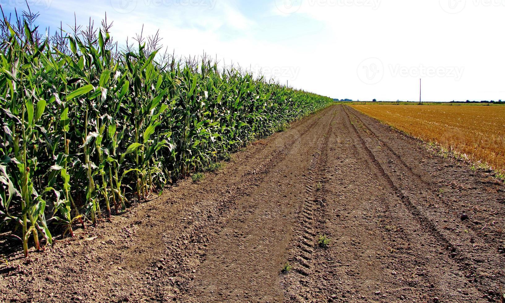 Maisfeld und das Feld des geschnittenen Grases foto