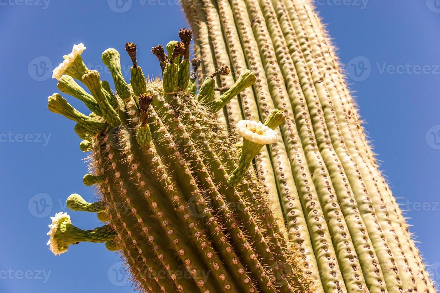 Saguaro-Kaktusblüten foto
