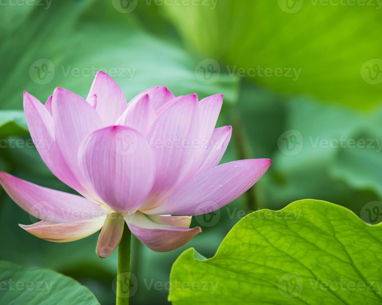 Sommer blühender Lotus foto