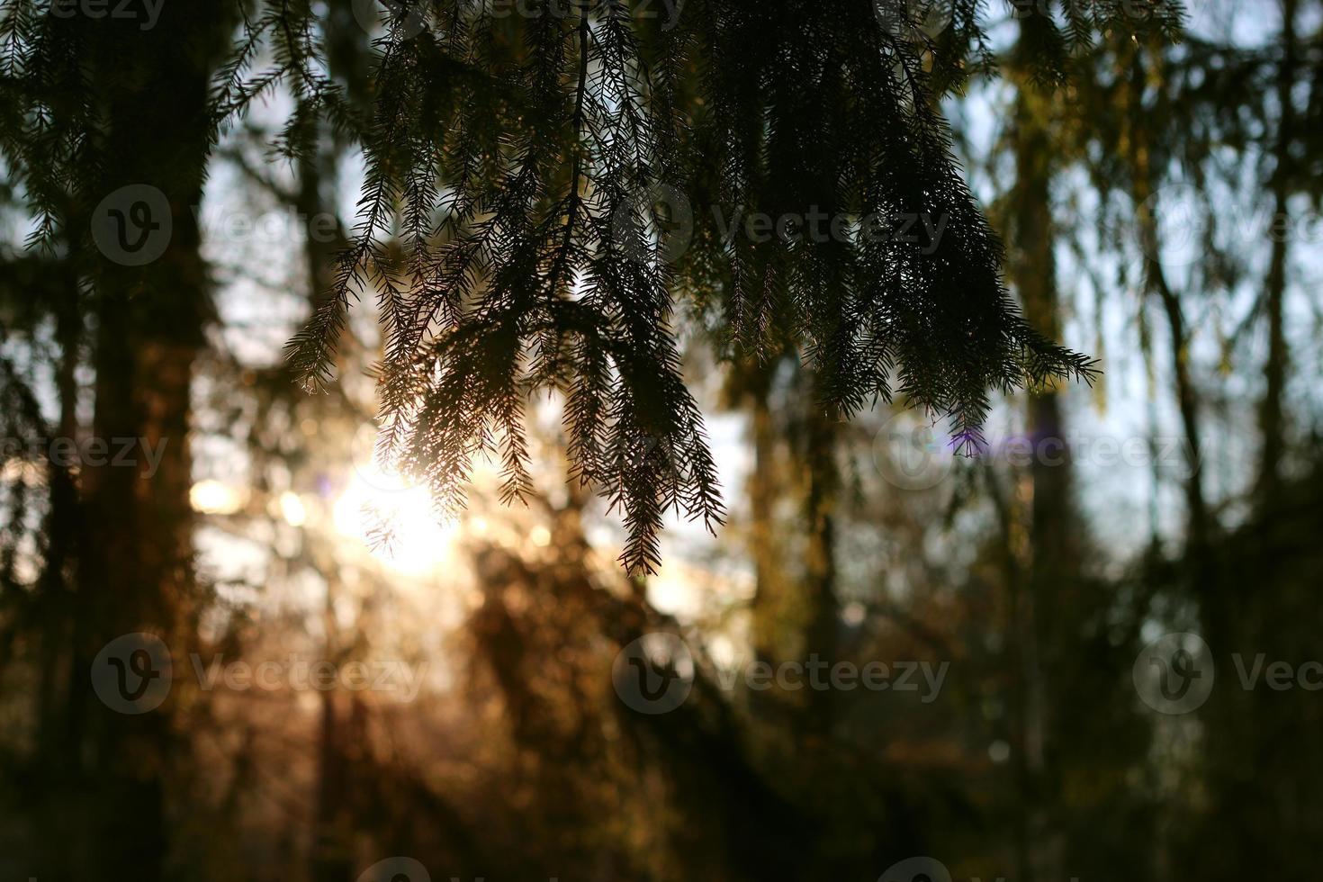 Winterwaldbaumzweige foto