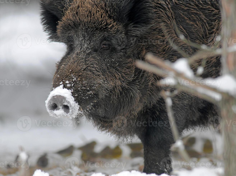 Wildschwein im Winterwald foto