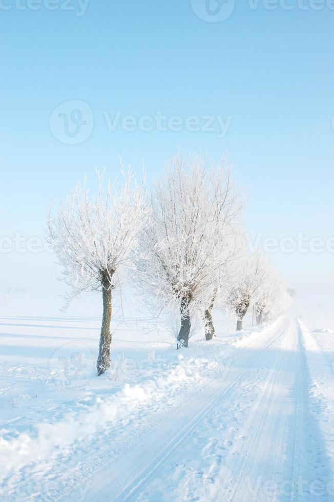 Winterweidenbäume foto