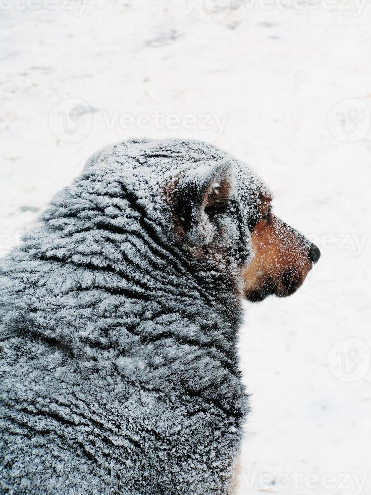 streunender Hund. Winter. foto