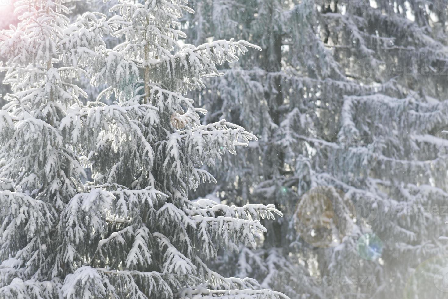 Weißtannen im Winter foto