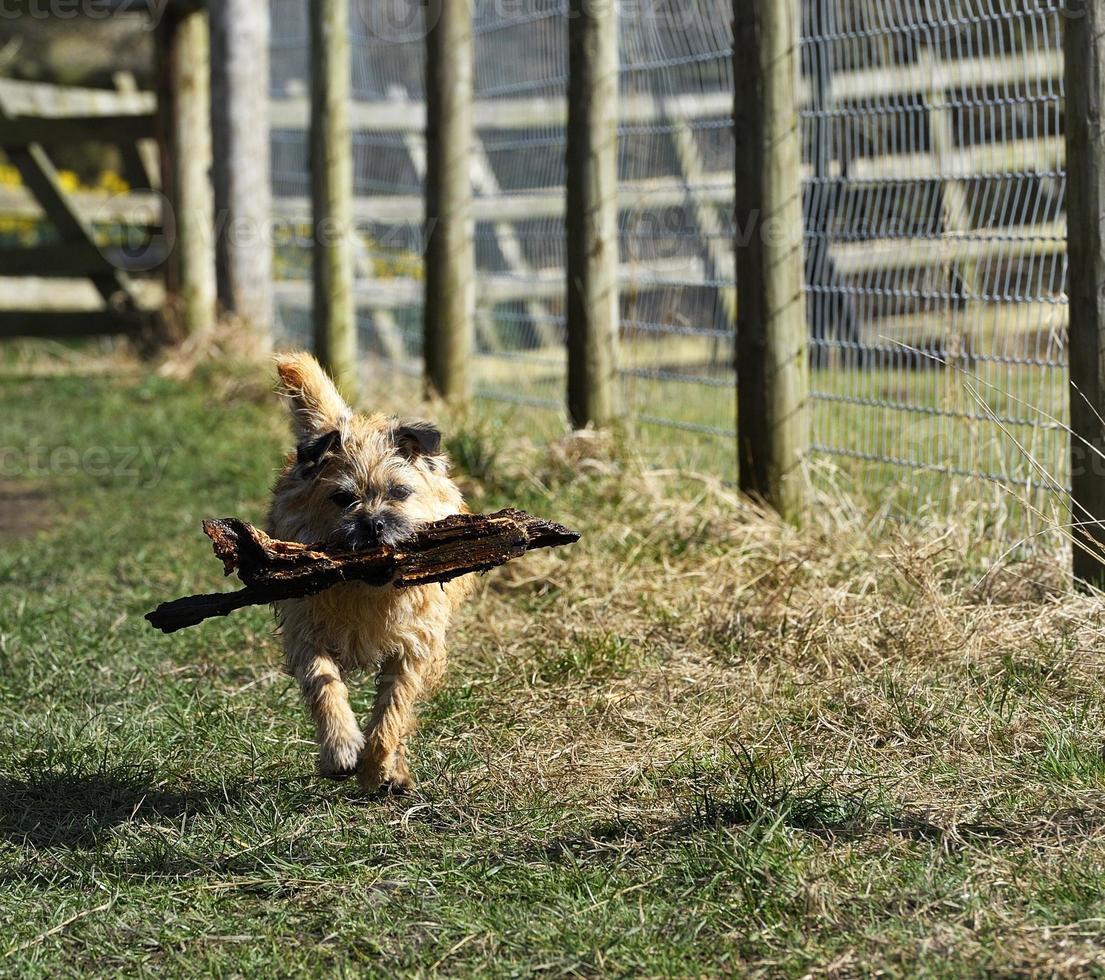 Running Terrier foto