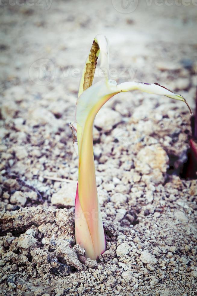 kleiner Bananenbaum, der auf trockenem Boden wächst foto