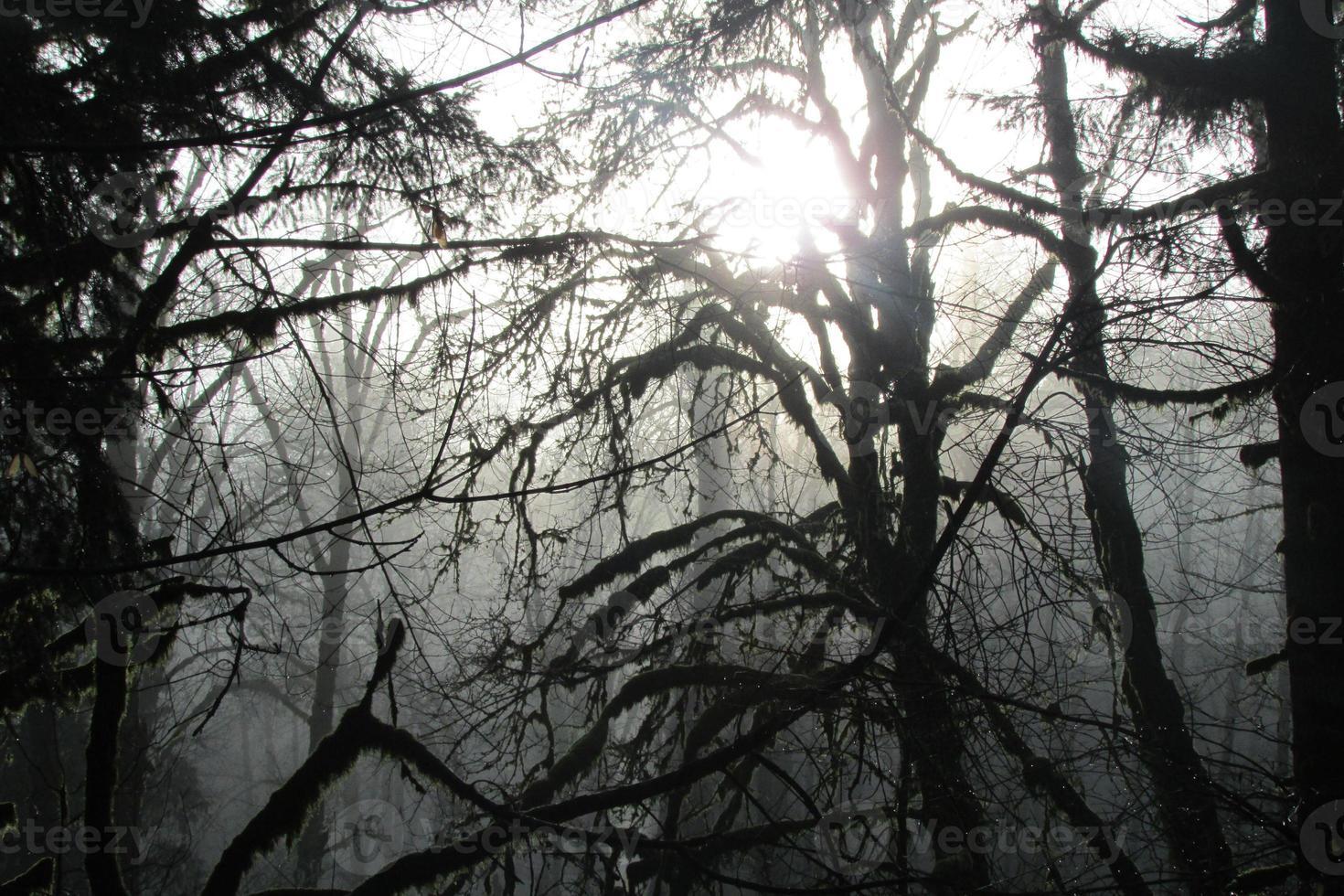 Oregon nebligen Morgen mit Bäumen foto