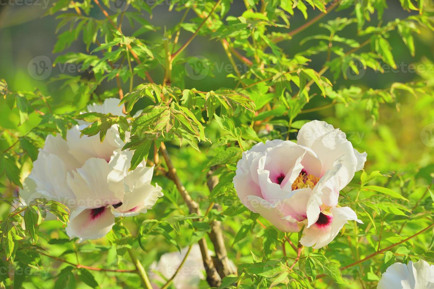 Blumen Baumpfingstrosen foto