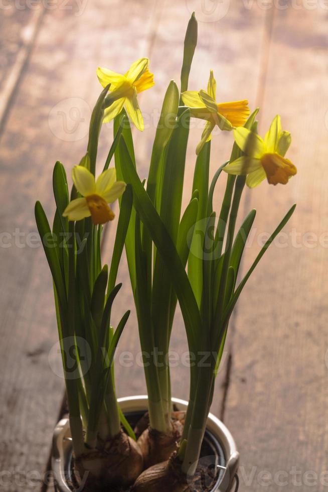 gelbe Narzisse foto